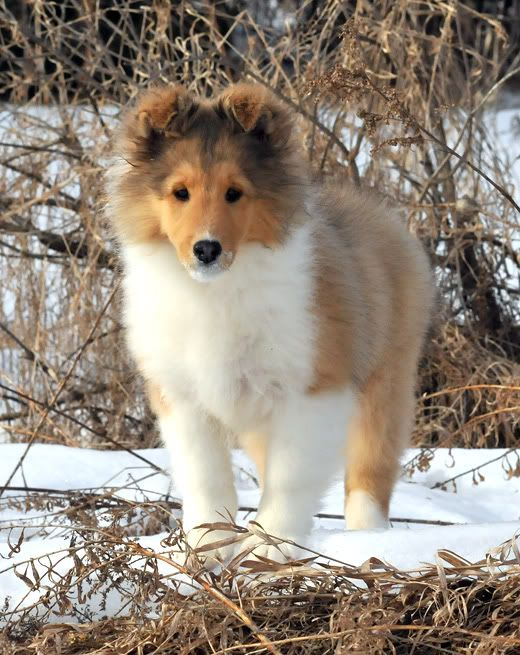 Shetland Sheepdog Dog Breed Information Cute Animals Sheltie Dogs