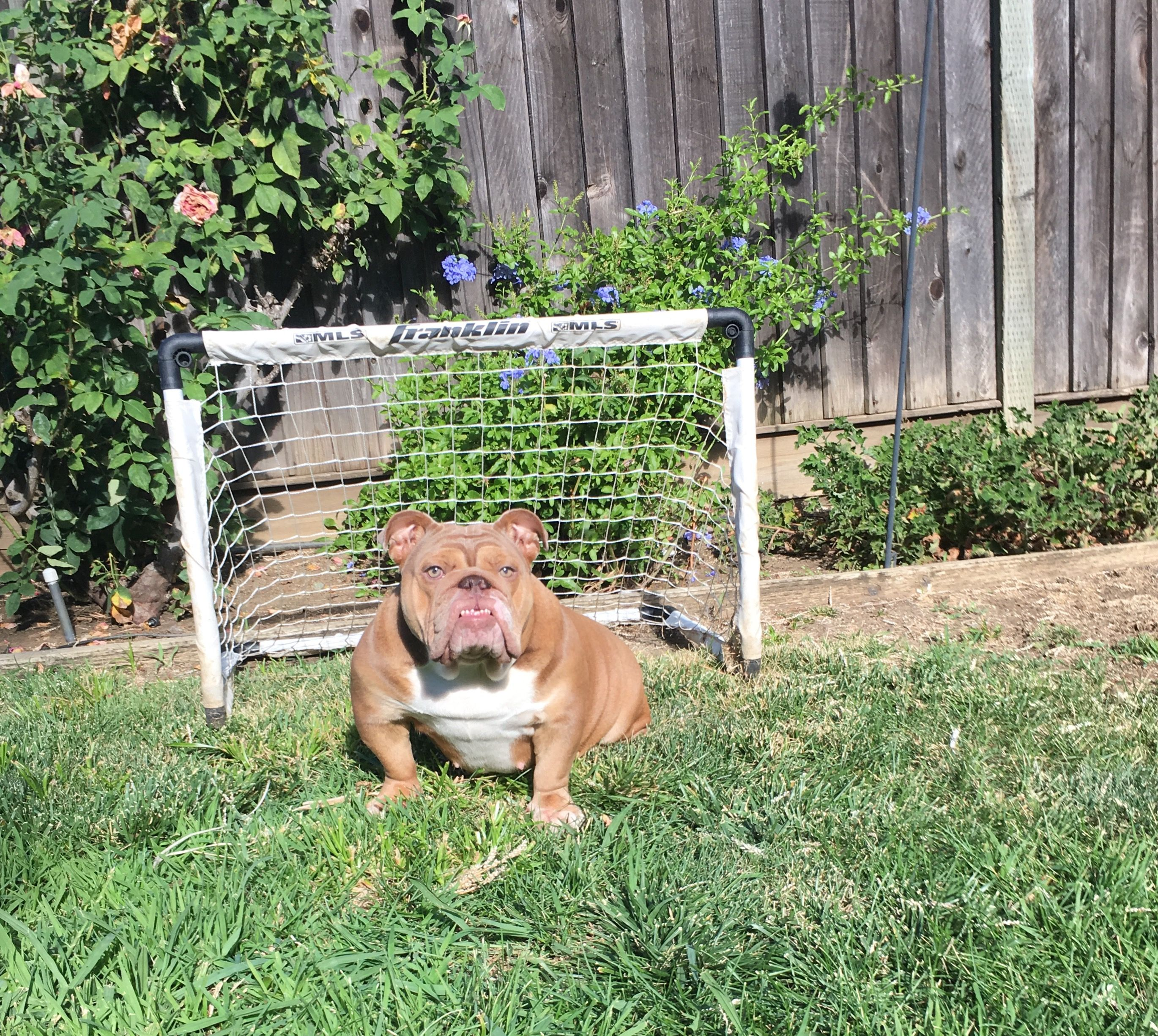 Queen Coco The Goalie Lilac Fawn English Bulldog English Bulldog
