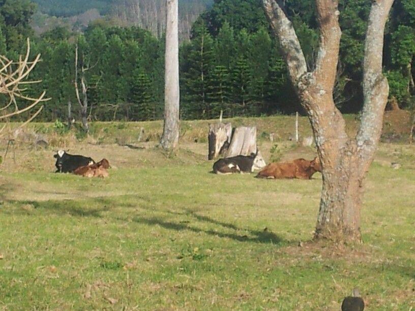 The Prestbury cows.
