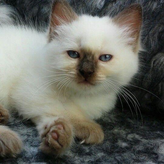 Chocolatepoint Ragdoll Kitten Kaipo 9 Weeks Old Lovely Bleu Eyes 3 Ragdoll Kitten Animal Lover Kitten