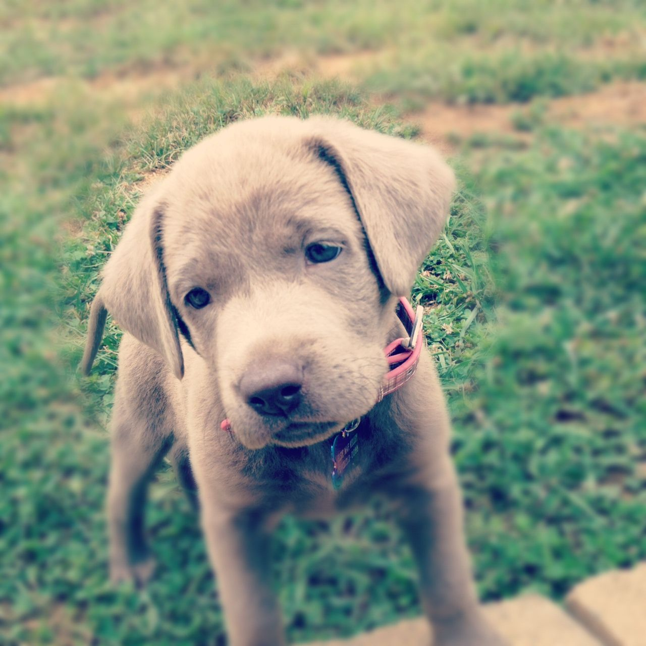 Silver lab puppies for sale in maine