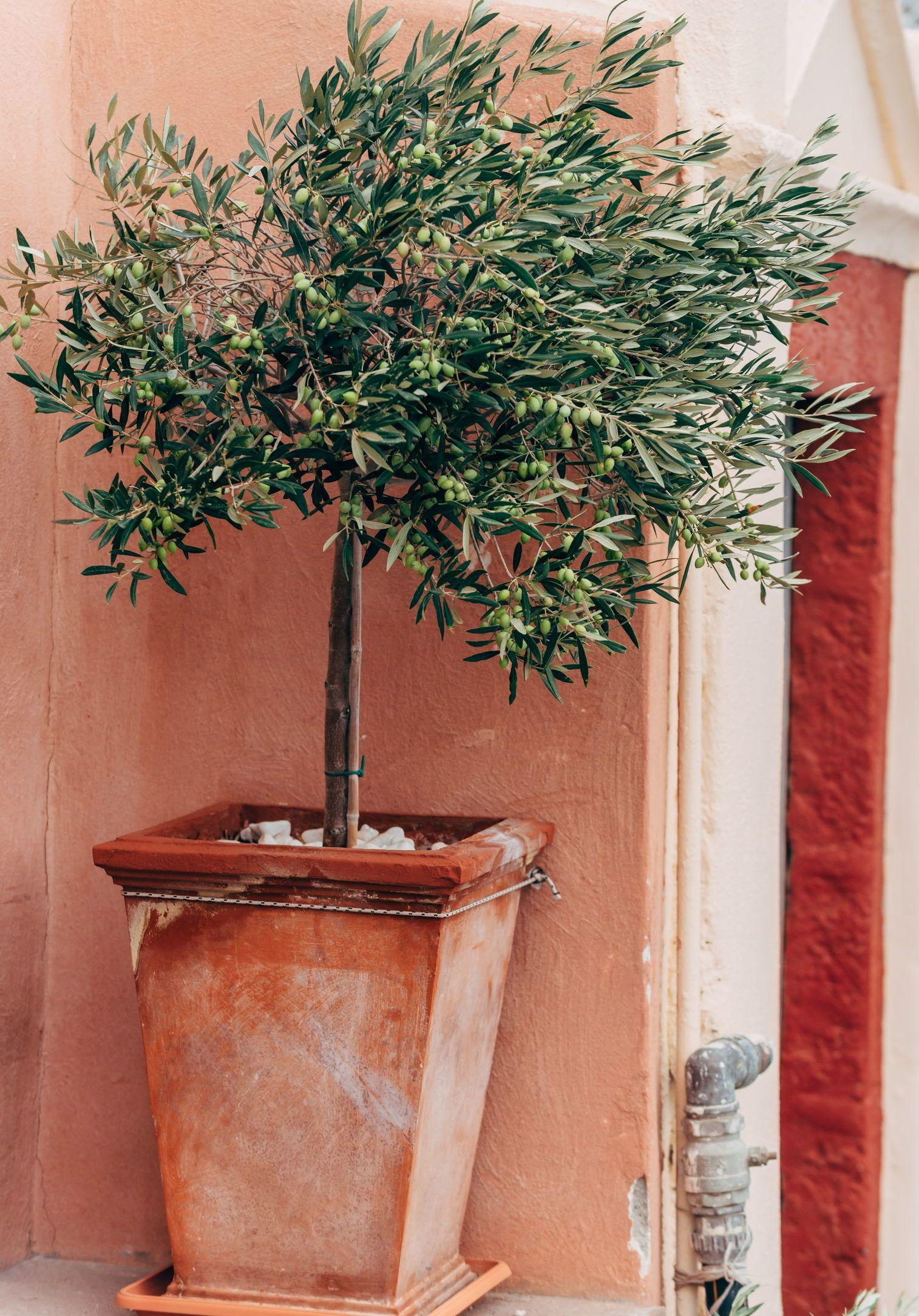olivenbaum umtopfen h ufigkeit zeitpunkt anleitung olivenbaum baum und pflanzen umtopfen