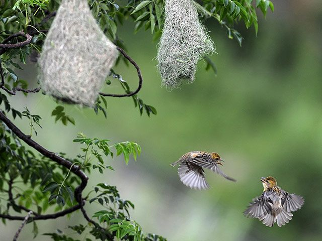 Week in wildlife: A pair of weaver birds flutter