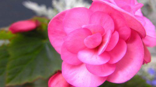 Begonia Flower As One Of Flowers That Look Like Roses Flower Desktop Wallpaper Flower Wallpaper Pretty Flowers
