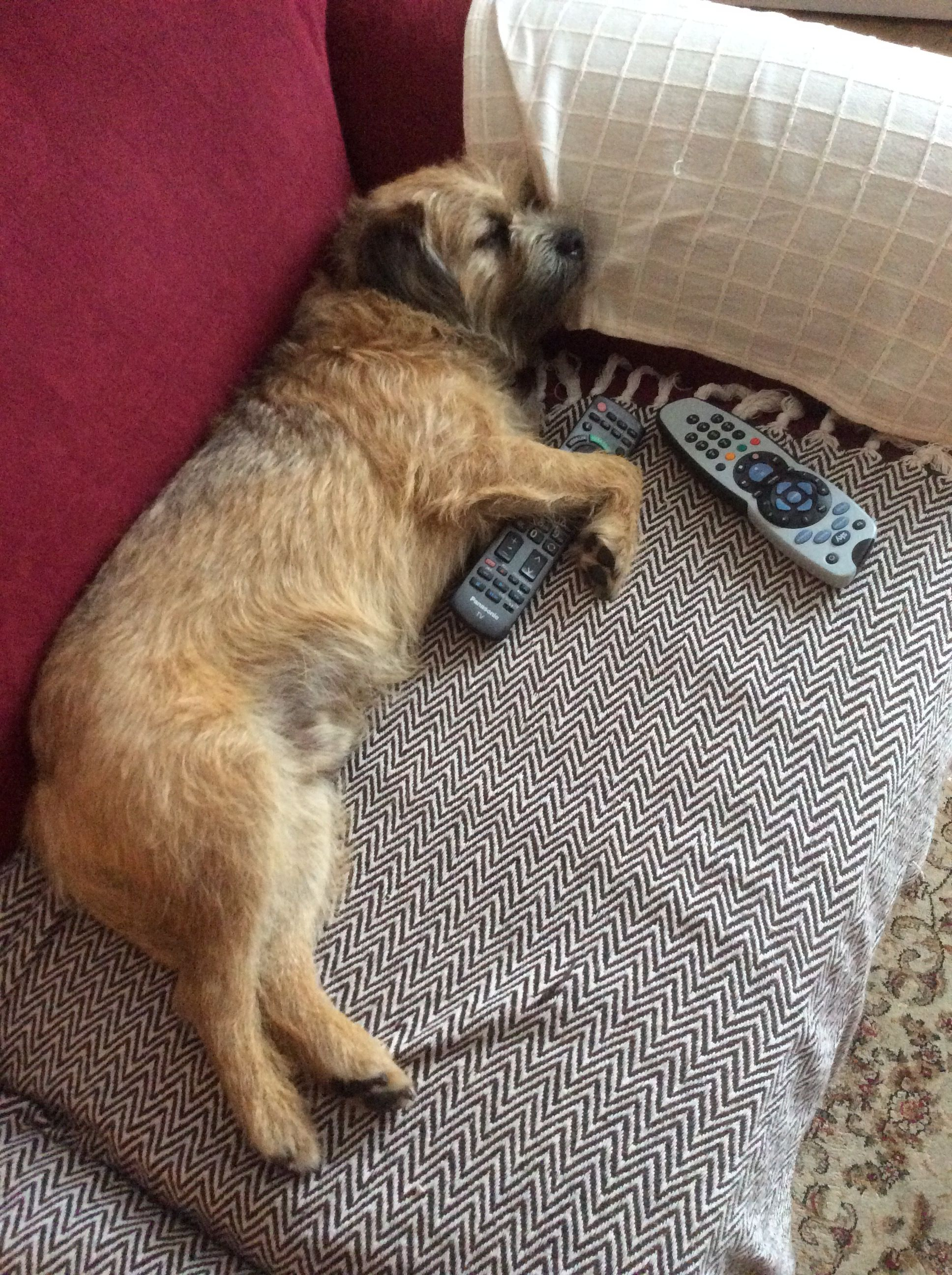 Pin By Leigh Haggar On Animal Humour Border Terrier Smart Dog