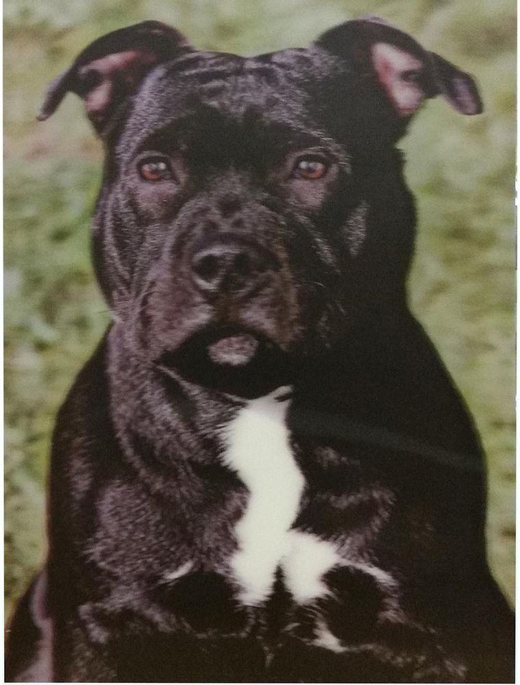 3d Picture Dogs Black Staffordshire Bull Terrier Size 39 X 29 Cm