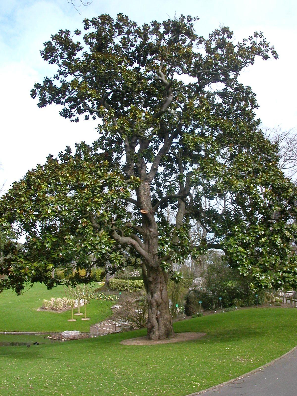 Magnolia grandifrola de 200 ans - Jardin des plantes, Nantes | Sud ...