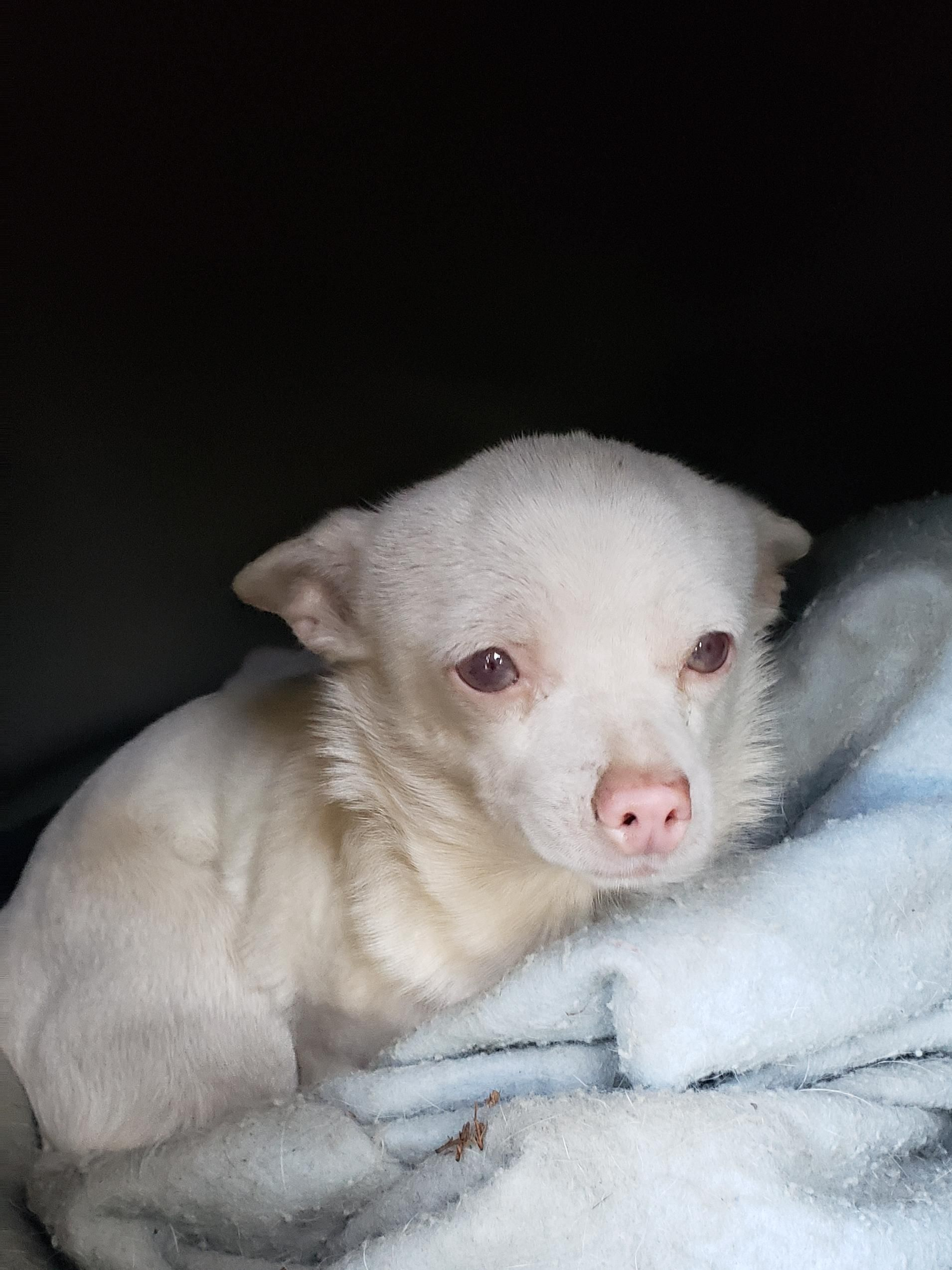 My Albino Chihuahua She Has Blue Eyes In This Picture But