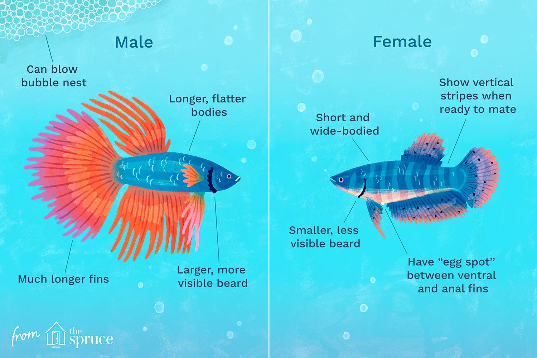 How To Determine The Gender Of A Betta Fish In 2020 Betta Fish Betta Pet Fish
