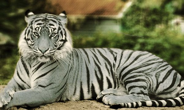10 Fact About Blue Maltese Tigers You Didn T Know 10 Zap Maltese Tiger Bengal Cat Asian Leopard Cat