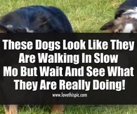 These Dogs Look Like They Are Walking In Slow Mo But Wait And See What They Are Really Doing!
