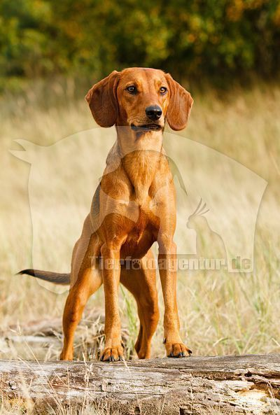 Image Result For Yellow Hound Dog Image Dog Breeds Pet Dogs