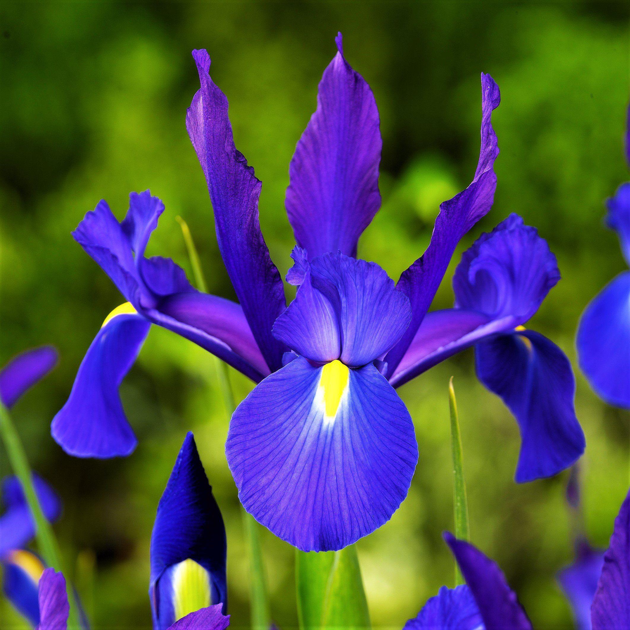 Allium Ampeloprasum Dutch Iris Blue Iris Flowers Iris Flowers