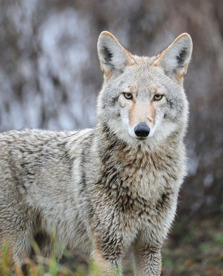 Coyote Wild dogs, Animals wild, Animals beautiful