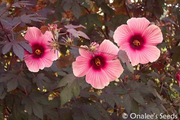 Image 2 Of Hibiscus False Roselle Red Leaf African Rose Mallow Pink Flowers Hibiscus Plant Pink Flowers Hibiscus