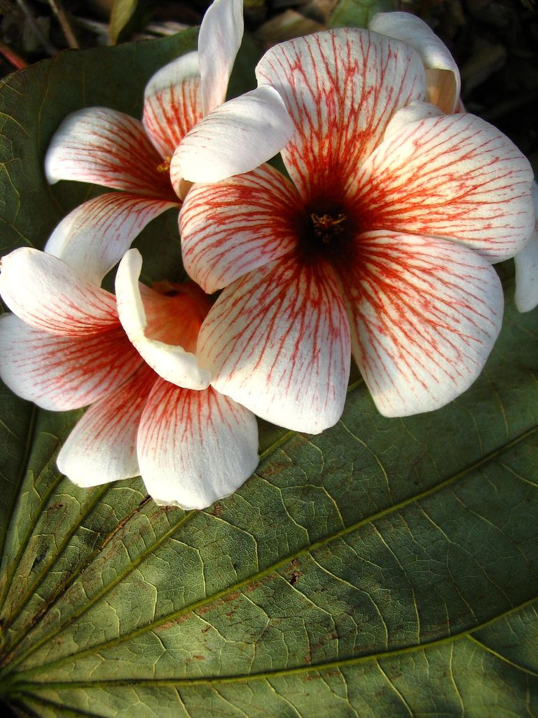 Tung Oil Tree Flowers Poisonous Plants Flowers Amazing