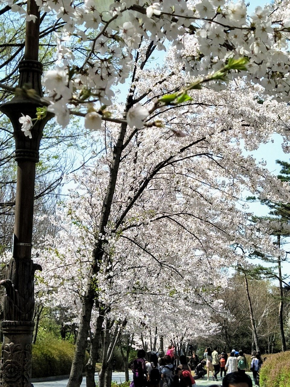 Top 5 Cherry Blossom Festivals In South Korea In 2017 Cherry Blossom Festival Cherry Blossom Flower Festival