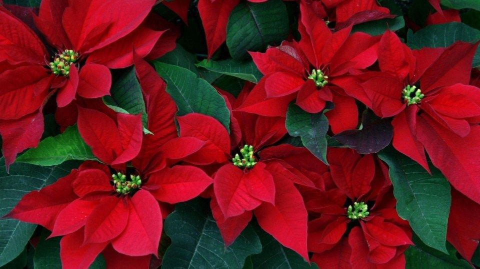 13 Great Christmas Flower Wallpaper Ideas That You Can Share With Your Friends Christmas Flower Wallpap Christmas Flowers Beautiful Flowers Poinsettia Flower