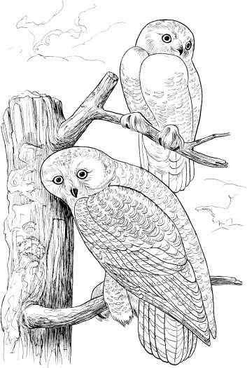 Two Owls On Tree 2 Owl Coloring Pages Coloring Book Art Coloring Pages