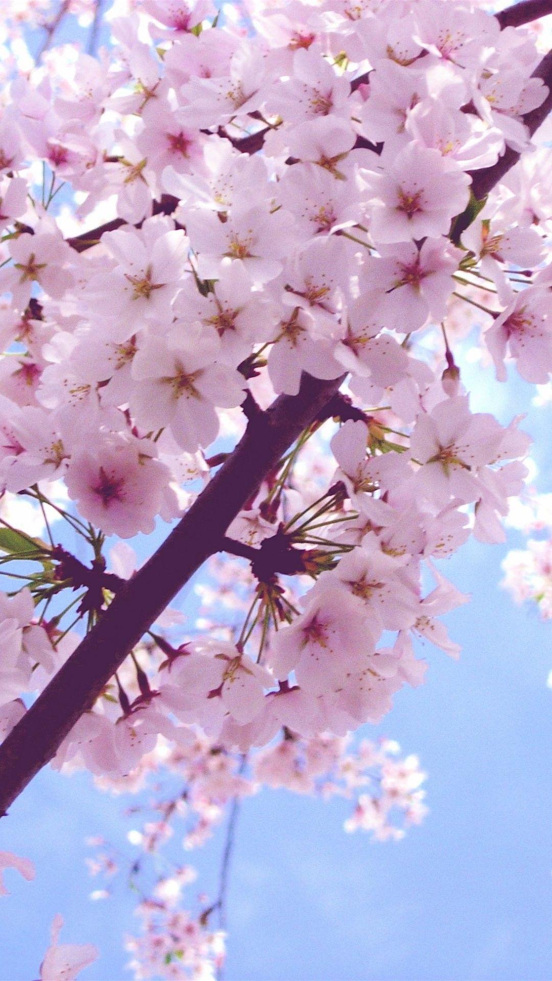 Spring Flowers Wallpaper High Resolution For Iphone Wallpaper On Hupages Com Flower Iphone Wallpaper Cherry Blossom Wallpaper Iphone Cherry Blossom Wallpaper