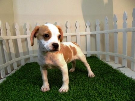 Frengle French Bulldog X Beagle Mix Info Temperament Puppies