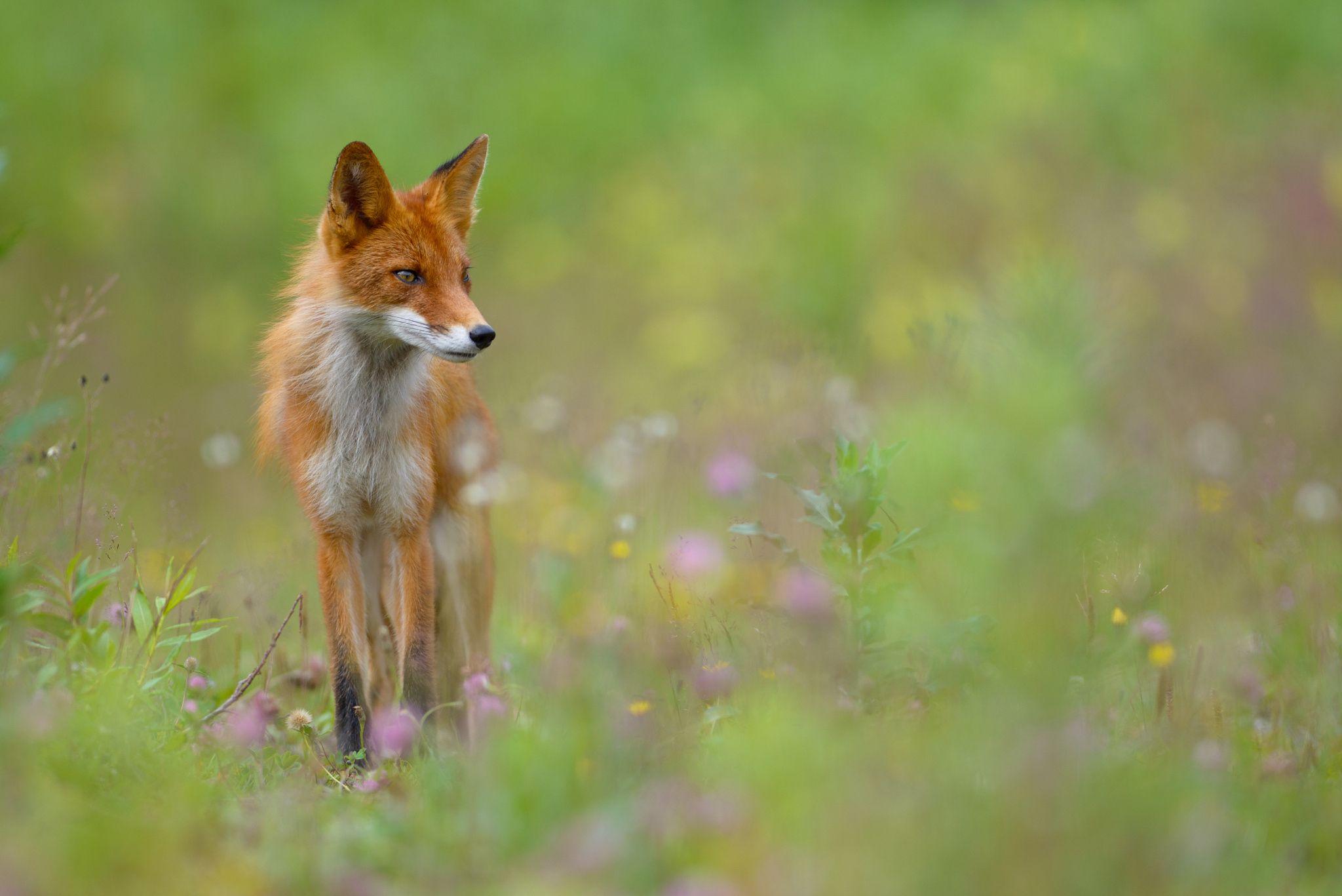 Fotografía Fox por Eyal Cohen en 500px