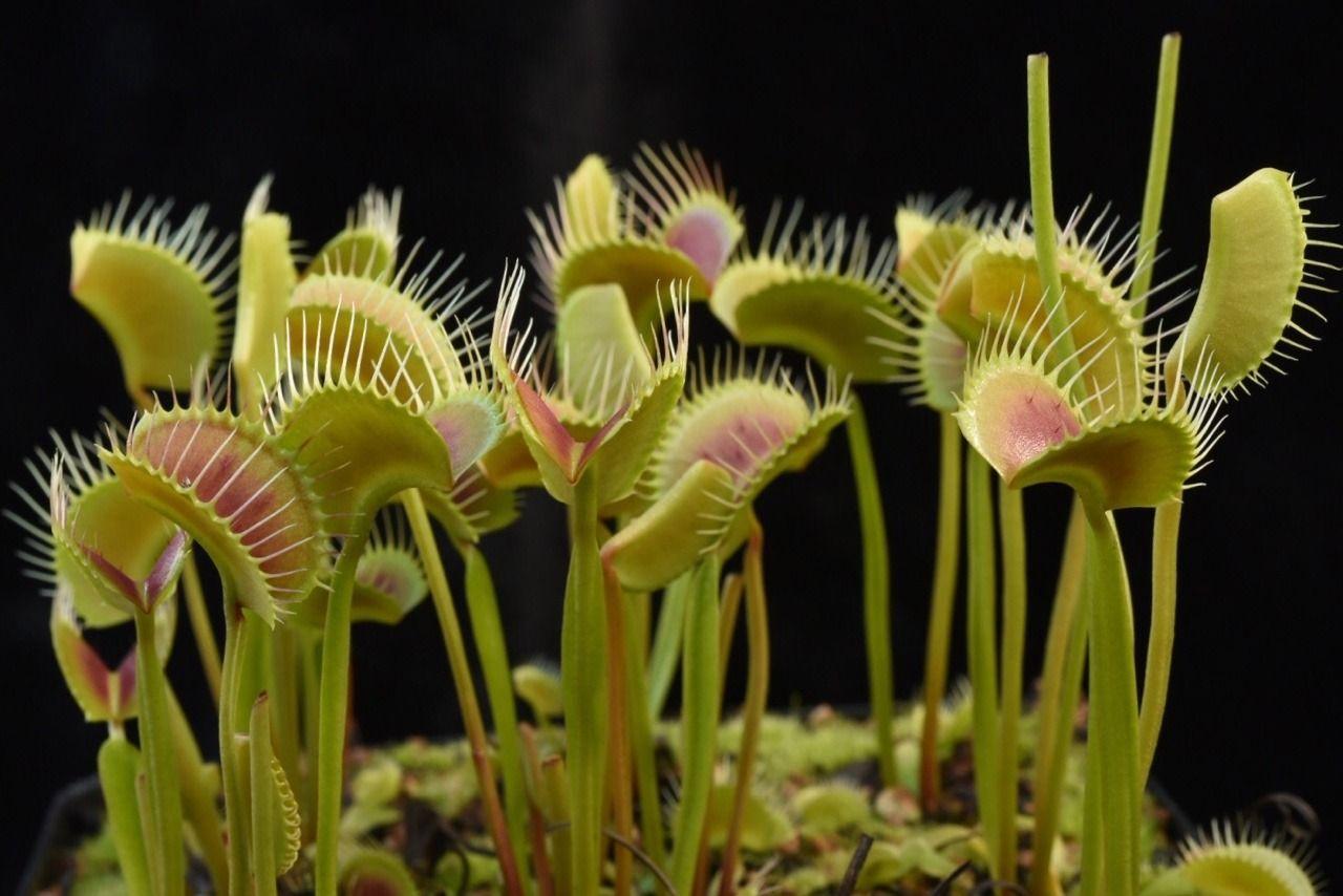Jeremiah's Carnivorous Plants — Beautiful Venus Flytraps