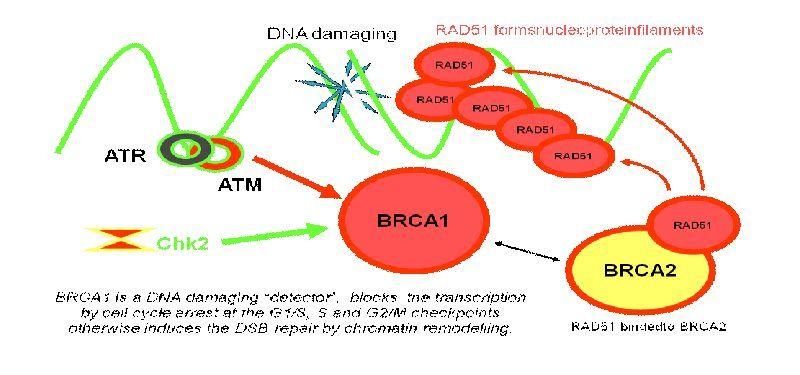 Pin On Brca1 Brca2 Hereditary Breast Ovarian Cancer