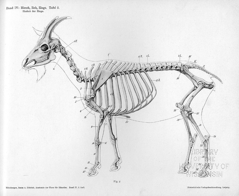 Skelett der Ziege, Tafel 2 The goat Dittrich, Herman This is a left ...