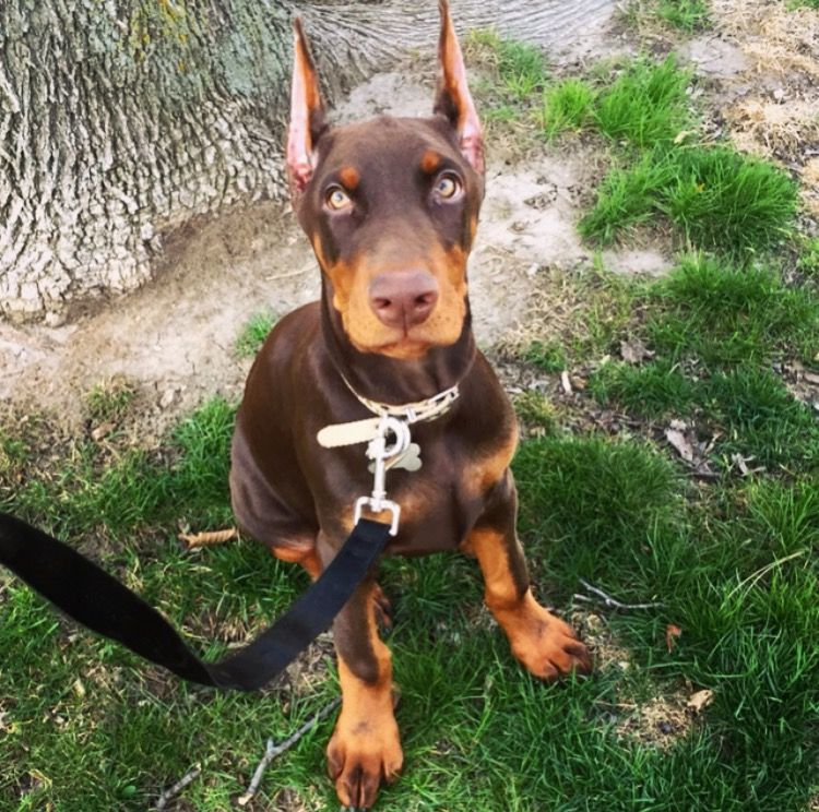Champion European Doberman Puppies For Sale Ckc Doberman Puppies