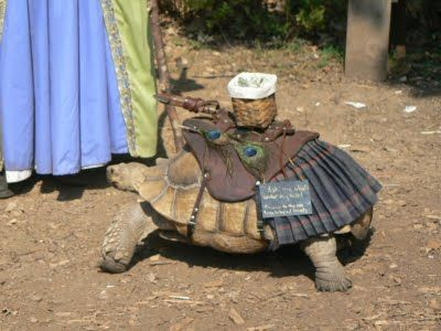 A woman walks her tortoise dressed in kilts     at the MN