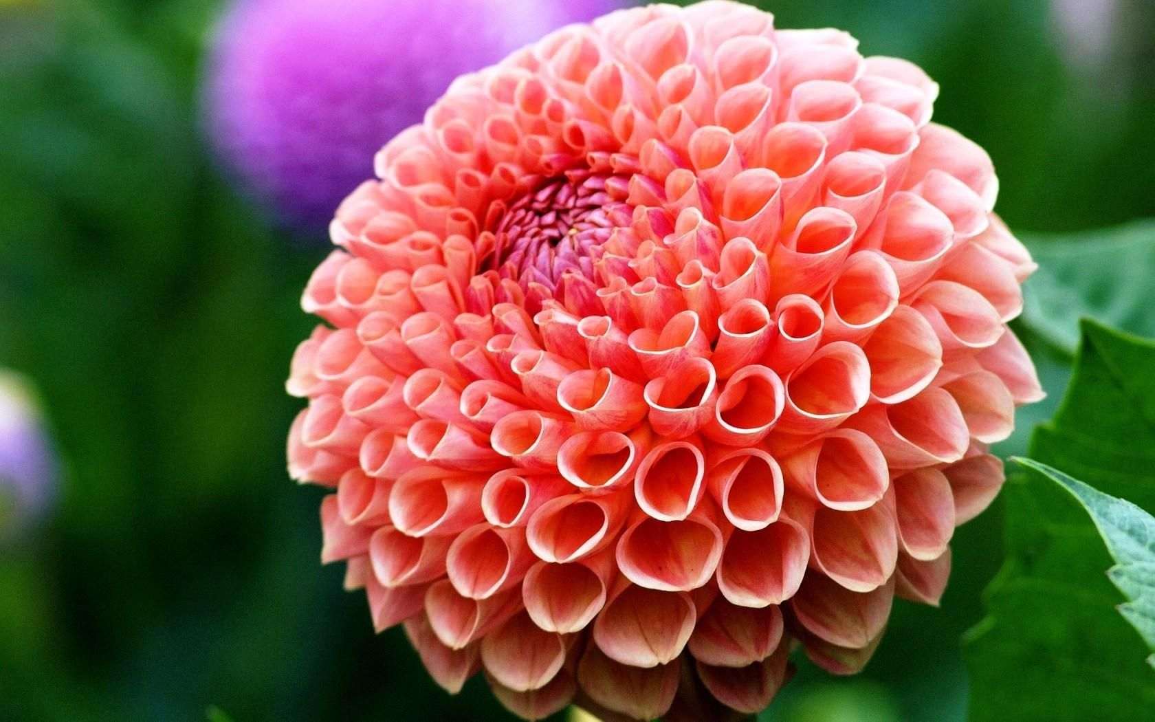 Dahlia Mexico National Flower Latest Hd Wallpapers Flower Pot Garden Flower Beauty Dahlia Flower