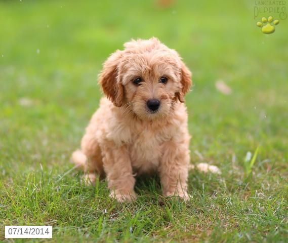 Sadie Mini Goldendoodle Puppy For Sale In Gap Pa Goldendoodle Puppy Mini Goldendoodle Mini Goldendoodle Puppies
