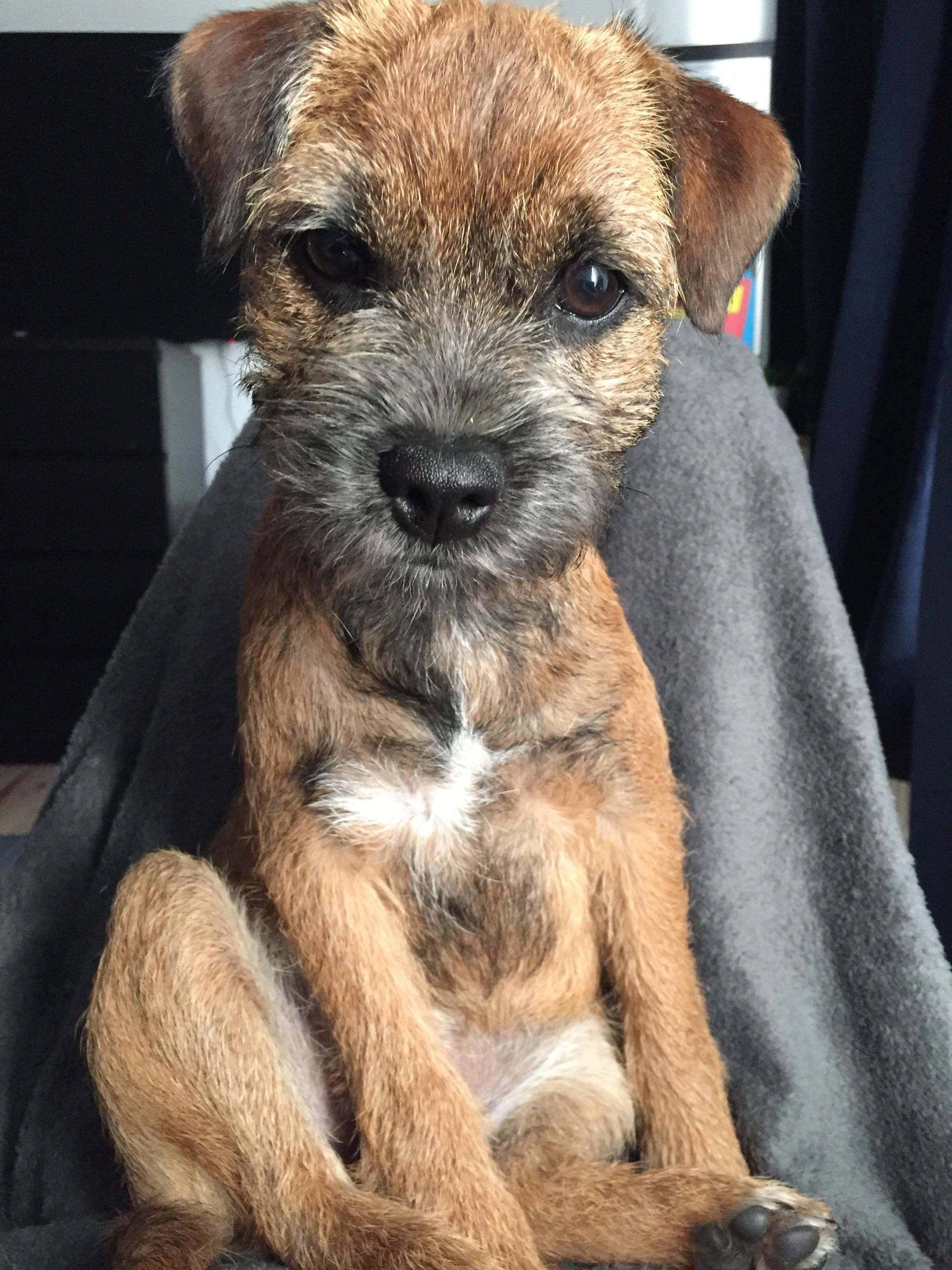 Welcome To Border Terrier Dog Pictures Dogs