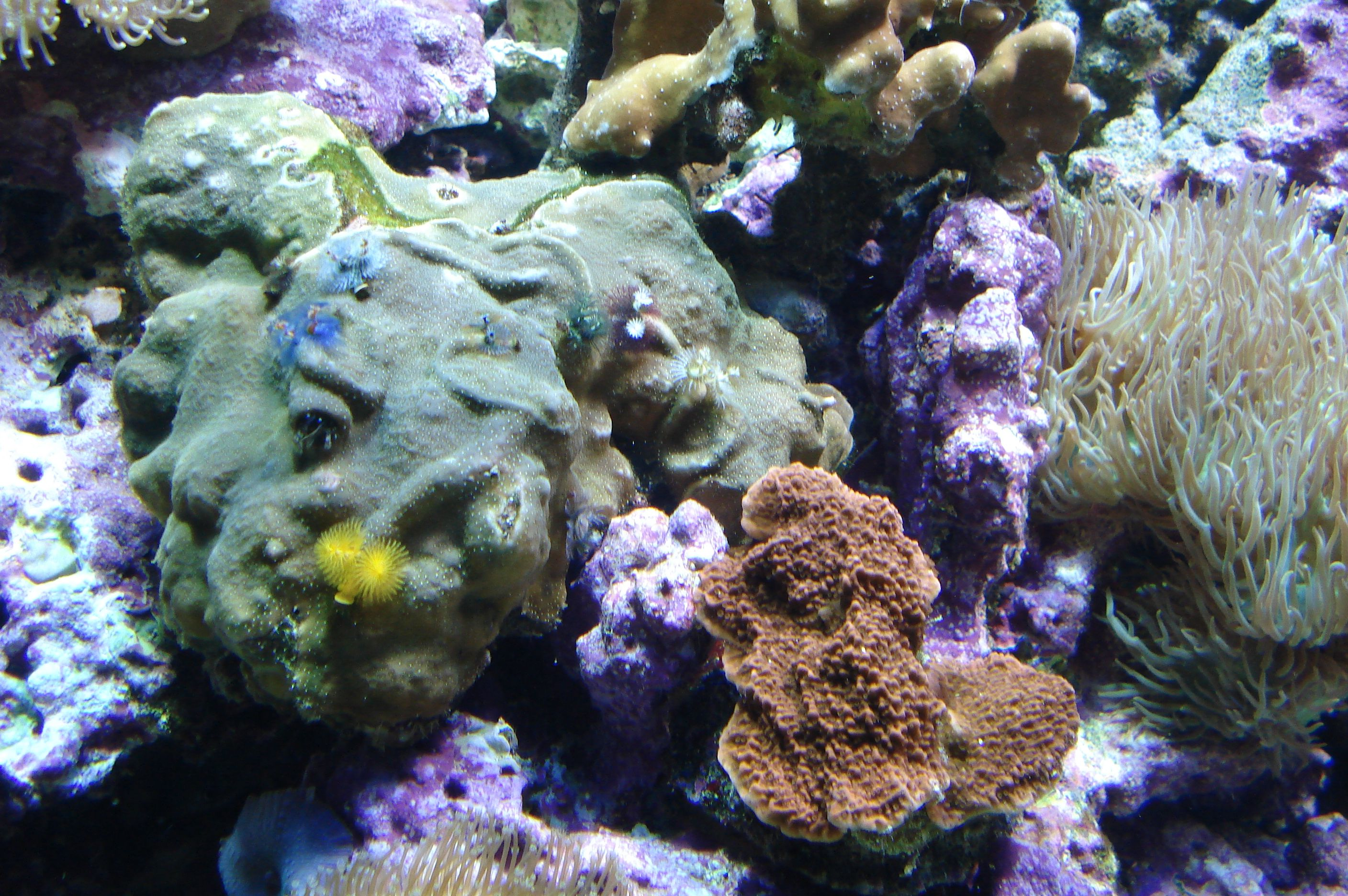 Christmas Tree Worm Rock Montipora And Duncan Coral Duncan Coral Coral Christmas Tree