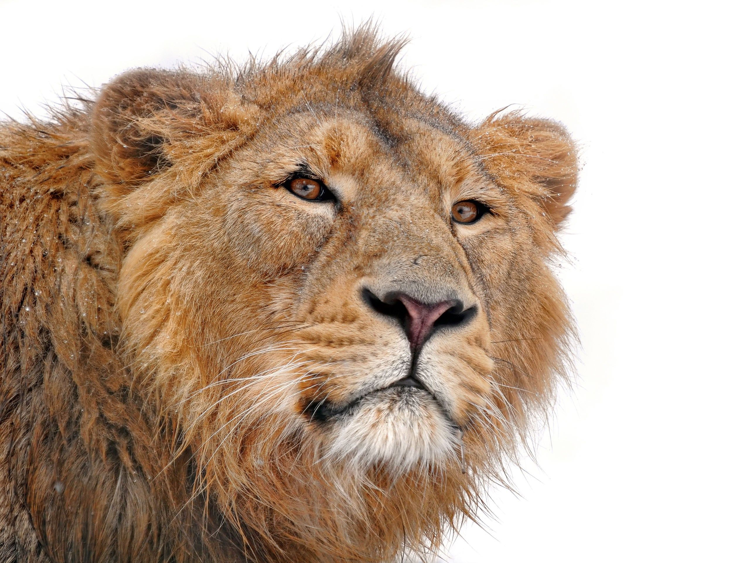 Lion Desktop X