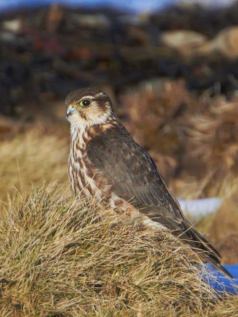 ♥ Merlin Falcon ~ Falco columbarius