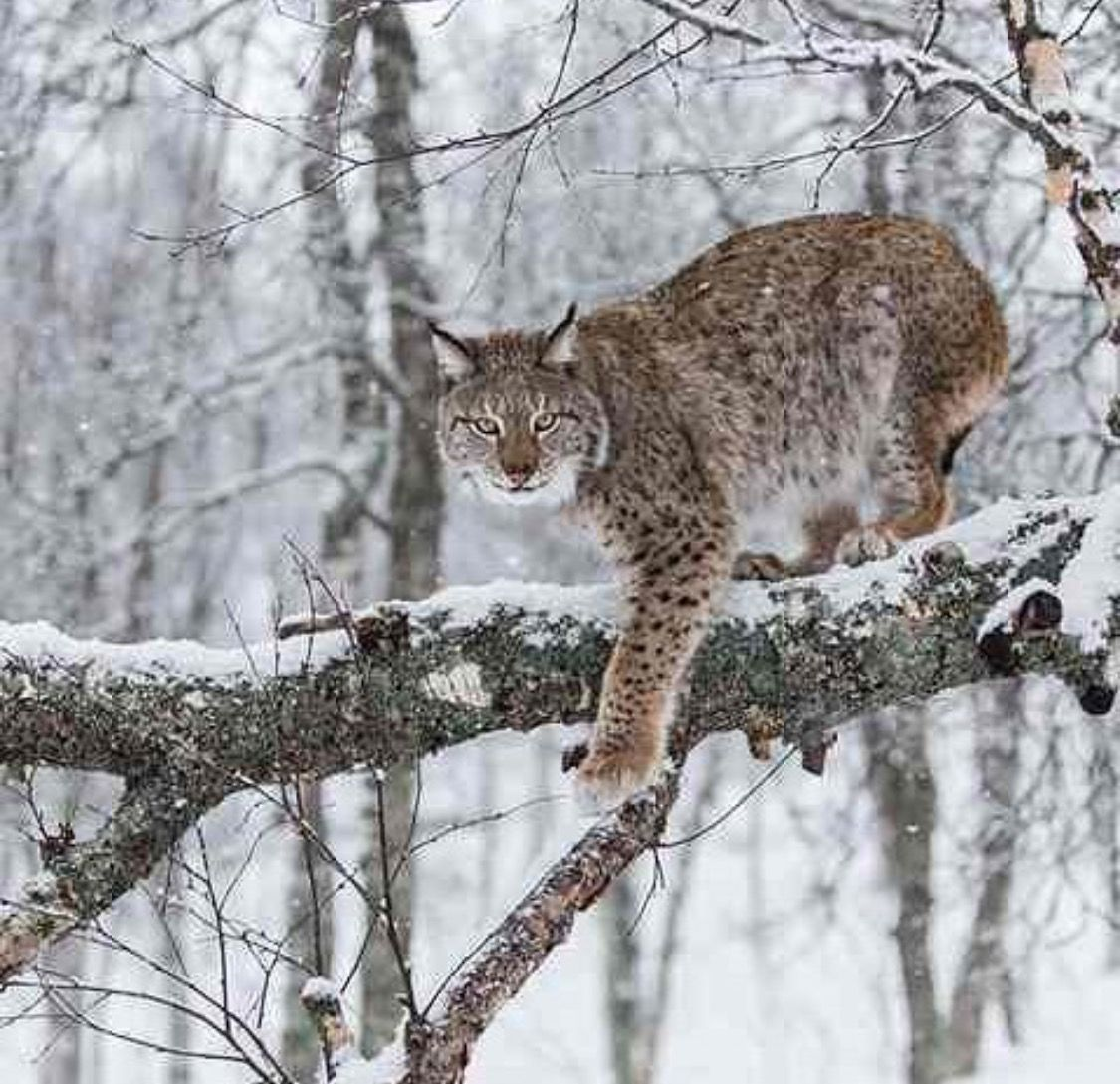 LYNX....four species of lynx Iberian, Canadian, Eurasian