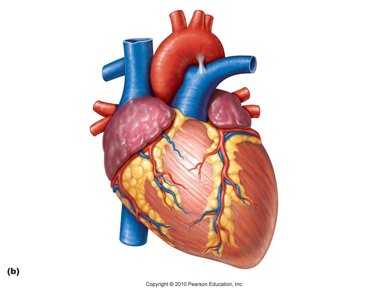 Unlabeled Heart Diagram Heart Diagram Clipart - Clipart ...