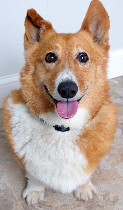 Adopt Christine On Corgi Corgi Dog Dogs