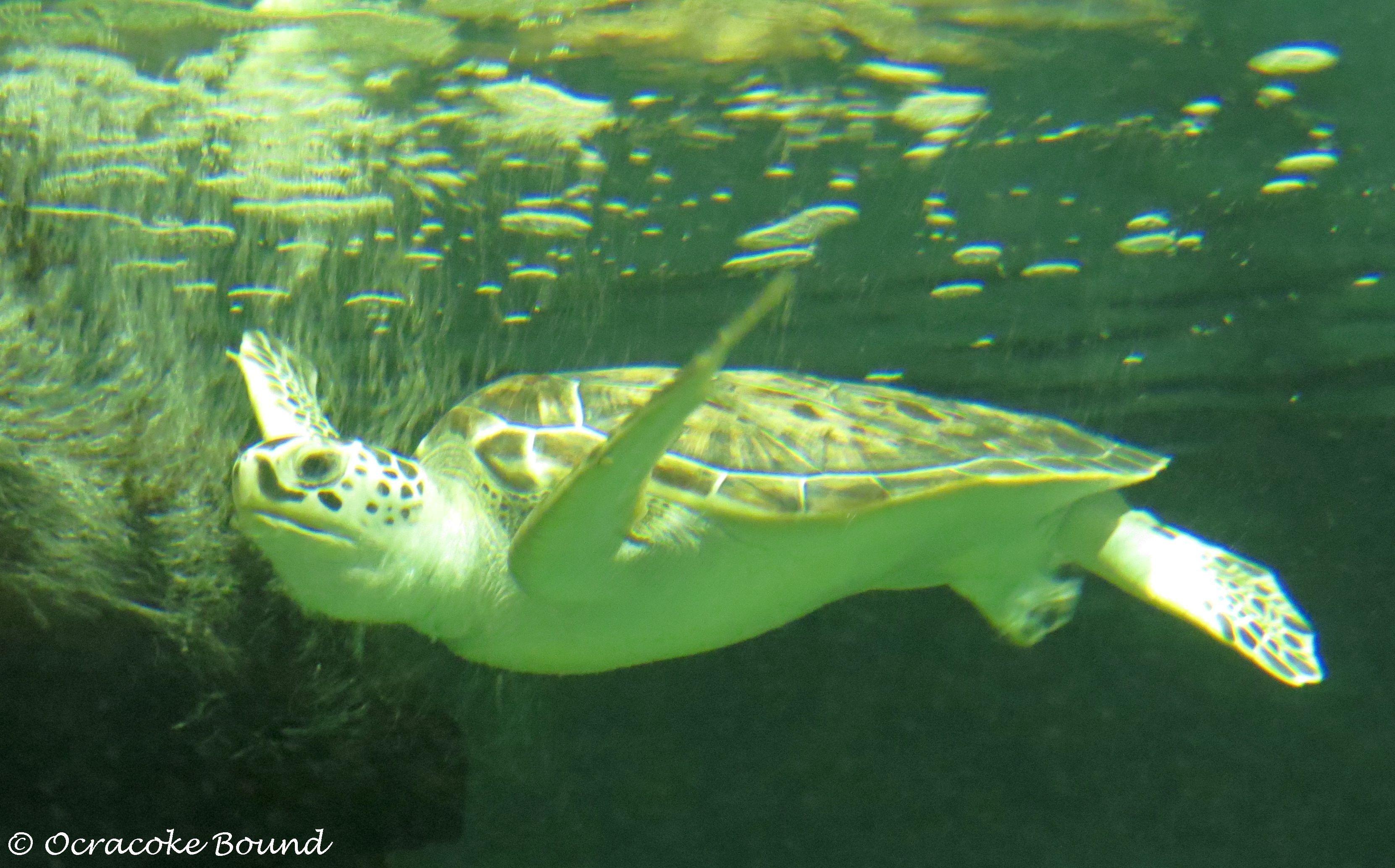 Like...totally duuude! (sea turtles at nc aquarium on ...