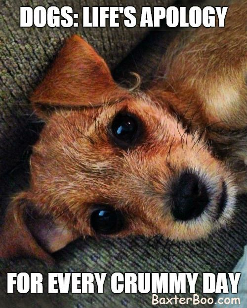 This Cute Border Terrier Is Going To Make You Feel Better Dogs