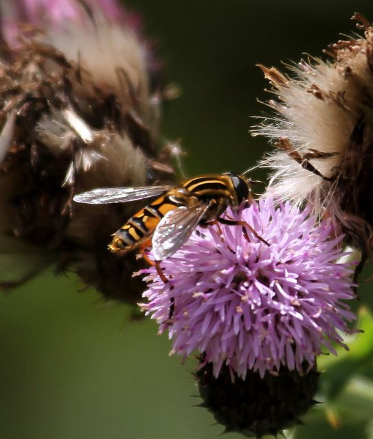 Hoverflies, natures own pest control.