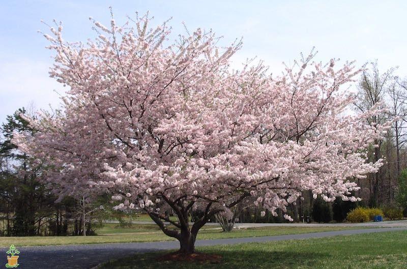 Yoshino Cherry Tree Yoshino Cherry Flowering Cherry Tree Yoshino Cherry Tree
