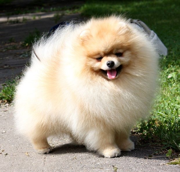 A Well Brushed Pomeranian With A Super Light Trim Long Haired Dogs Need Their Paws Trimmed To Keep Their Paws Tidy And Pa Pomeranian Puppy Pomeranian Dog Dogs