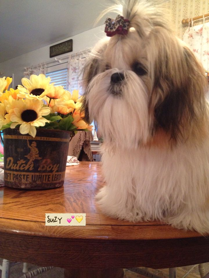 Top Shih Tzu Anime Adorable Dog - fa889d3b5b913a7f04a24cc33b828d79  Picture_48319  .jpg
