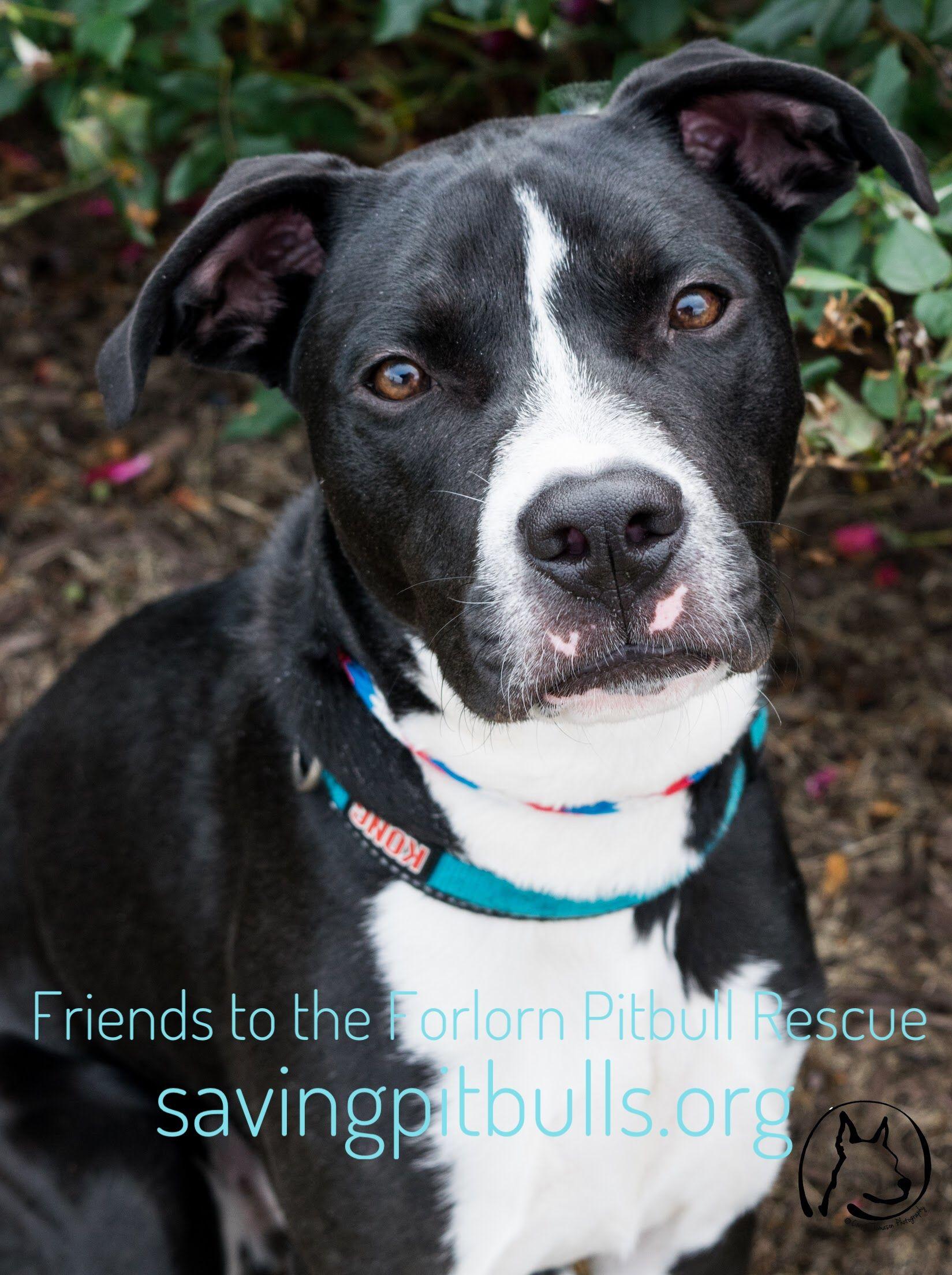 Adopt A Bulls Adoption Pitbull Terrier Pitbulls