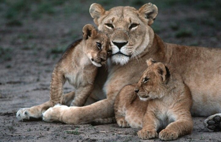 Image result for lioness and her cubs