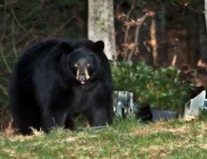 Michigan Black Bears Black Bear Black Bear Hunting Bear Species