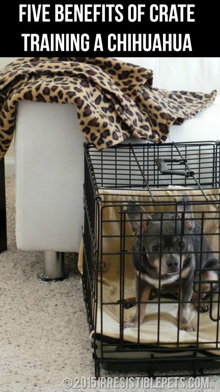 Five Benefits Of Crate Training A Chihuahua Crate Training